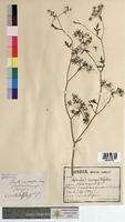 http://bibliotheque-virtuelle.clermont-universite.fr/files/fichiers_bcu/Berula_angustifolia_MTBRIS0833.jpg