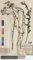 Pastinaca sylvestris (Apiaceae)