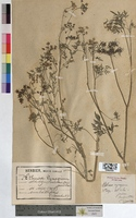 Aethusa cynapium (Apiaceae)