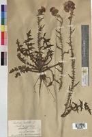 Cirsium palustre (Asteraceae)