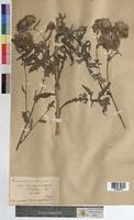 Cirsium arvense x oleraceum (Asteraceae)
