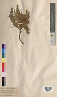 Cirsium spinosissimum (Asteraceae)