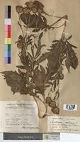 http://bibliotheque-virtuelle.clermont-universite.fr/files/fichiers_bcu/Centaurea_scabiosa_MTBRIS0988.jpg