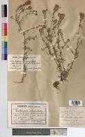 http://bibliotheque-virtuelle.clermont-universite.fr/files/fichiers_bcu/Centaurea_maculosa_MTBRIS0990.jpg