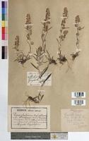 http://bibliotheque-virtuelle.clermont-universite.fr/files/fichiers_bcu/Gnaphalium_sylvaticum_MTBRIS1008.jpg