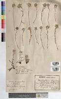 Leontopodium alpinum (Asteraceae)