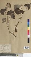 Adenostyles leucophylla (Asteraceae)