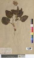 Aronicum scorpioides (Asteraceae)