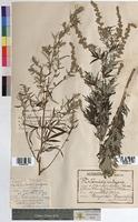 http://bibliotheque-virtuelle.clermont-universite.fr/files/fichiers_bcu/Artemisia_vulgaris_MTBRIS1081.jpg