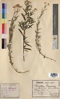 Achillea ptarmica (Asteraceae)
