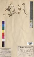Achillea nana (Asteraceae)