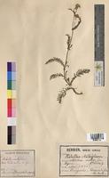 Achillea millefolium (Asteraceae)