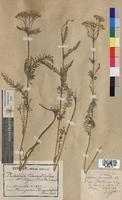 Achillea tanacetifolia (Asteraceae)