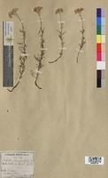 Achillea chamaemelifolia (Asteraceae)