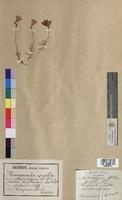 http://bibliotheque-virtuelle.clermont-universite.fr/files/fichiers_bcu/Campanula_pusilla_MTBRIS1175.jpg