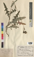 Sonchus asper (Asteraceae)