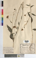 Hieracium boreale (Asteraceae)