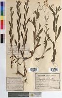 http://bibliotheque-virtuelle.clermont-universite.fr/files/fichiers_bcu/Myosotis_palustris_MTBRIS1273.jpg