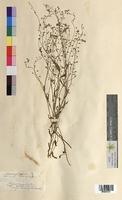 Myosotis palustris (Boraginaceae)