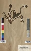 Pulmonaria azurea (Boraginaceae)