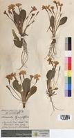 http://bibliotheque-virtuelle.clermont-universite.fr/files/fichiers_bcu/Primula_grandiflora_MTBRIS1349.jpg