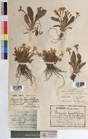http://bibliotheque-virtuelle.clermont-universite.fr/files/fichiers_bcu/Primula_grandiflora_MTBRIS1350.jpg