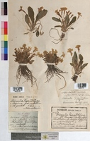 http://bibliotheque-virtuelle.clermont-universite.fr/files/fichiers_bcu/Primula_grandiflora_MTBRIS1351.jpg