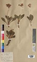 http://bibliotheque-virtuelle.clermont-universite.fr/files/fichiers_bcu/Primula_latifolia_MTBRIS1362.jpg
