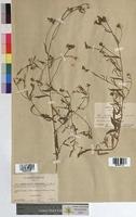 Convolvulus cantabrica (Convolvulaceae)