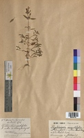 http://bibliotheque-virtuelle.clermont-universite.fr/files/fichiers_bcu/Galeopsis_angustifolia_MTBRIS1442.jpg