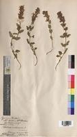 Salvia verbenaca (Lamiaceae)