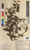 Lycopus europaeus (Lamiaceae)