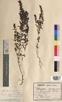 Odontites verna (Scrophulariaceae)