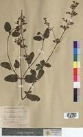 Scrophularia balbisii (Scrophulariaceae)