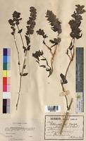 Rhinanthus major (Scrophulariaceae)