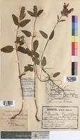 http://bibliotheque-virtuelle.clermont-universite.fr/files/fichiers_bcu/Prunella_grandiflora_MTBRIS1602.jpg