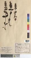 Ajuga genevensis (Lamiaceae)