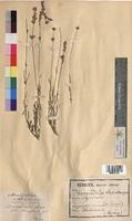 Lavandula vera (Lamiaceae)