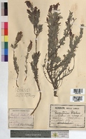 Lavandula stoechas (Lamiaceae)
