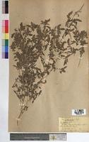 Amaranthus deflexus (Amaranthaceae)