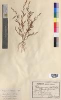 Polygonum bellardii (Polygonaceae)
