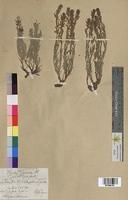 Thymelaea sanamunda (Thymelaeaceae)