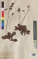 Statice lychnidifolia (Plumbaginaceae)