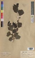 http://bibliotheque-virtuelle.clermont-universite.fr/files/fichiers_bcu/Populus_nigra_MTBRIS1725.jpg