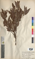Quercus suber (Fagaceae)