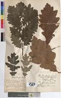 http://bibliotheque-virtuelle.clermont-universite.fr/files/fichiers_bcu/Quercus_sessiliflora_MTBRIS1764.jpg