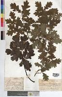 http://bibliotheque-virtuelle.clermont-universite.fr/files/fichiers_bcu/Quercus_sessiliflora_MTBRIS1765.jpg