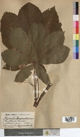 Aesculus hippocastanum (Hippocastanaceae)