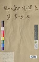 http://bibliotheque-virtuelle.clermont-universite.fr/files/fichiers_bcu/Euphorbia_peploides_MTBRIS1799.jpg