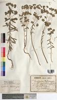 http://bibliotheque-virtuelle.clermont-universite.fr/files/fichiers_bcu/Euphorbia_helioscopia_MTBRIS1800.jpg